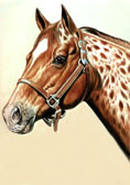Western, Equine Art - Appy
