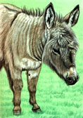 Donkey and Mule Art - Donkey