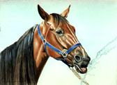 Standardbred, Equine Art - Drinking Out of the Hose
