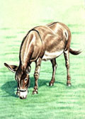 Donkey and Mule Art - Grazing Donkey