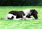 Gypsy Vanner, Equine Art - Nap Time