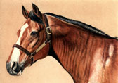 Thoroughbred, Equine Art - Northern Dancer