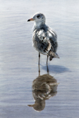 Seagull with Reflections