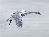 Swan Flying Over Ice.